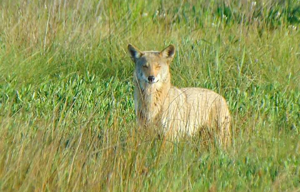Coyote at Coastal Heritage Preserve