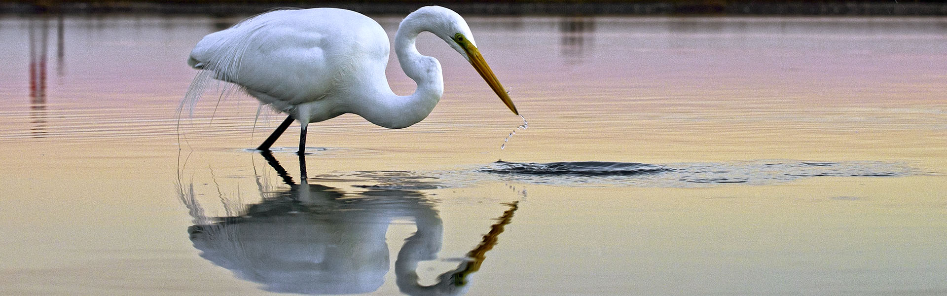 Egret Hunting in Wetland