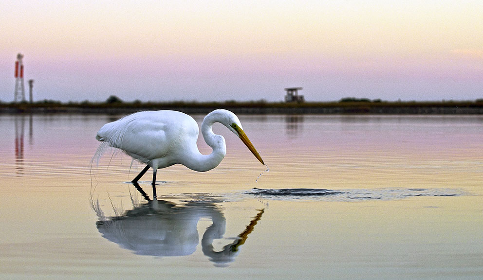 Egret Hunting in Wetland