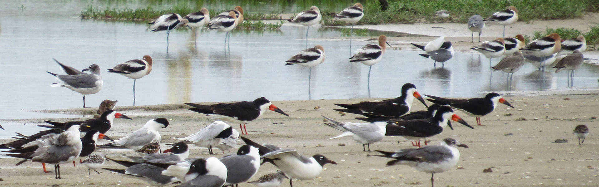 Mixed Flock of Shorebirds by Kristine Rivers