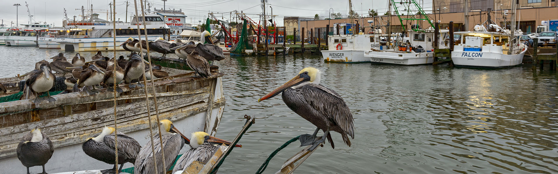 Pelicans on a Shrimp Boat at Pier 19
