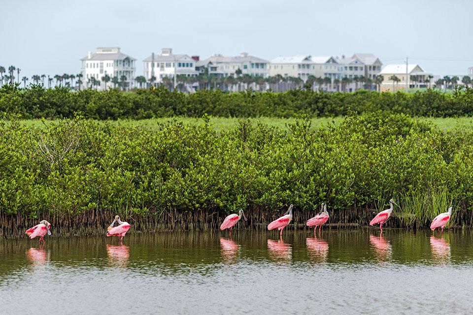 Roseate Spoonbills in Lagoon