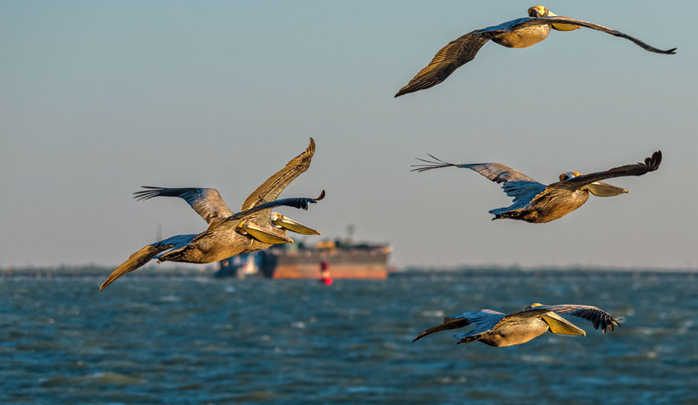 Pelicans Flying with Tanker in Background, Galveston, TX