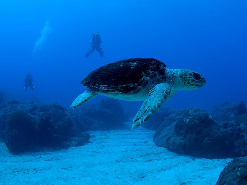 Loggerhead Sea Turtle at Flower Garden Banks National Marine Sanctuary