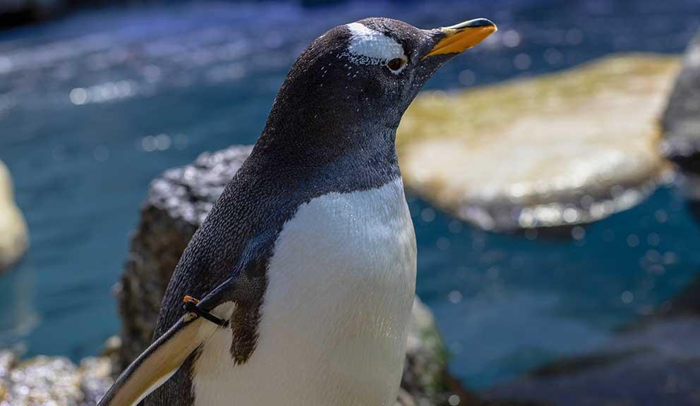 Moody Gardens Aquarium Penguin