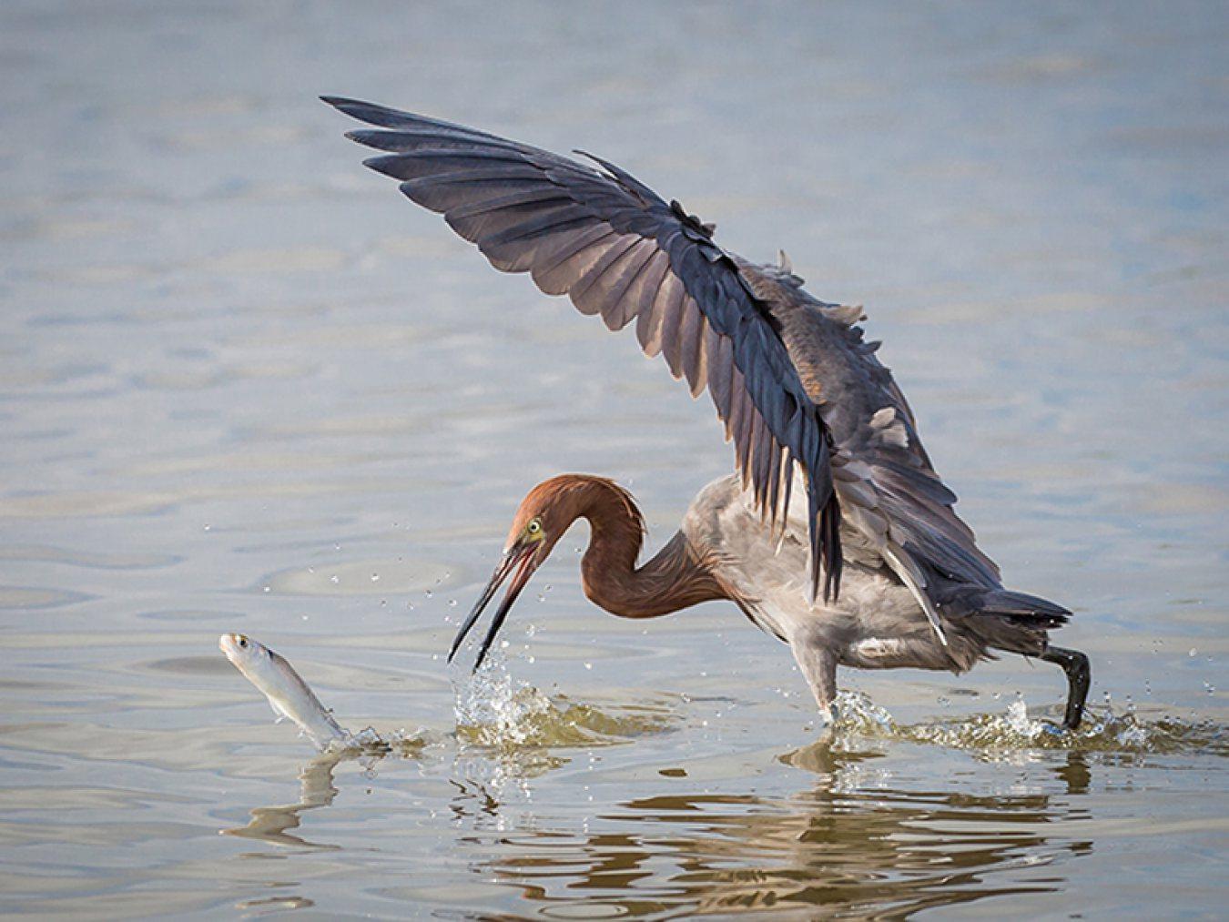 Reddish-egret-by-Gary-Seloff