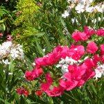 Oleander Shrubs