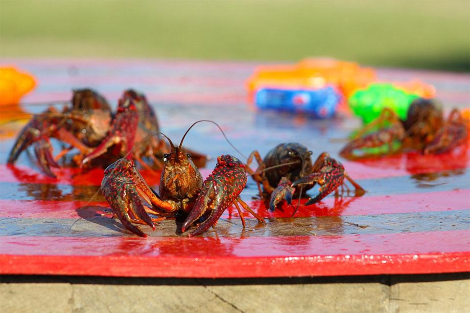Crawfish Race