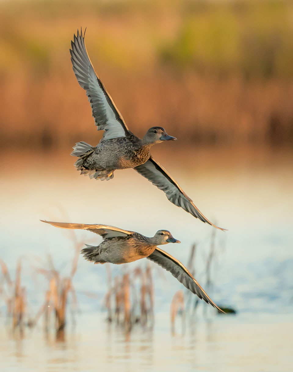 Blue-winged Teal by Gary Seloff