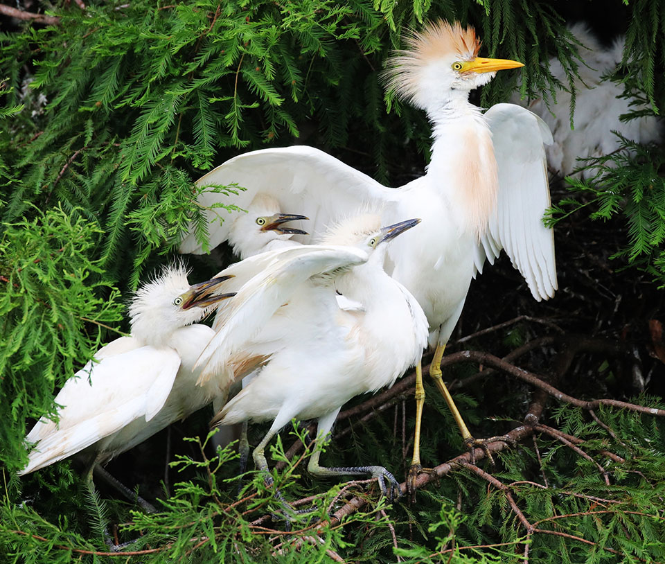 Cattle Egret by Deborah Repasz
