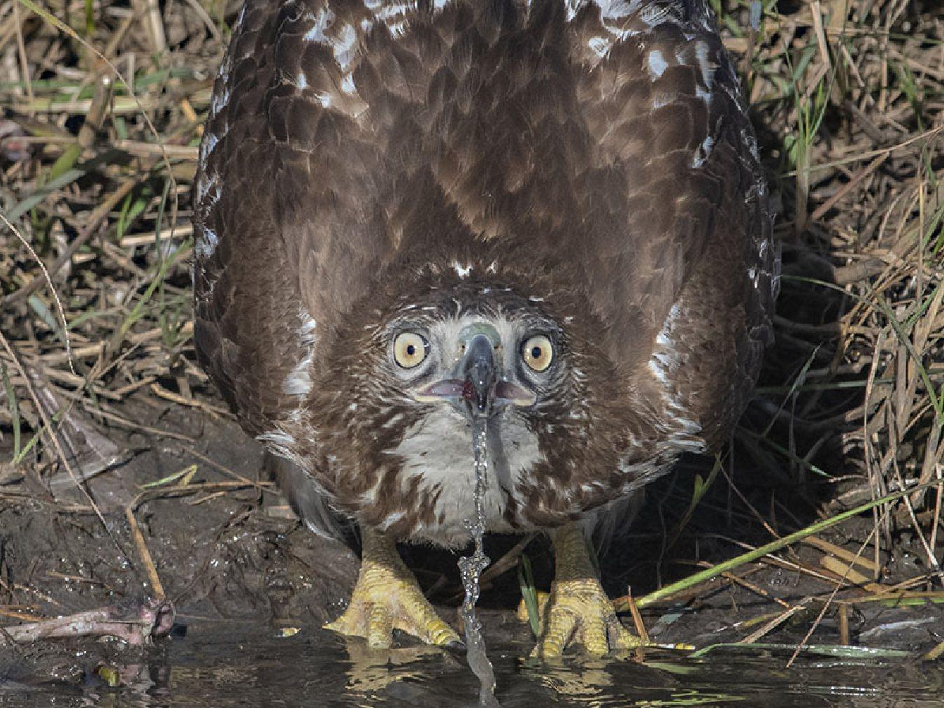 Red-tailed Hawk by Sandra Kroeger