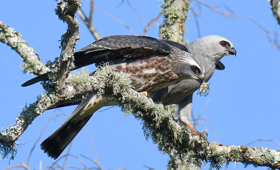Mississippi Kite by Lynne Hughes