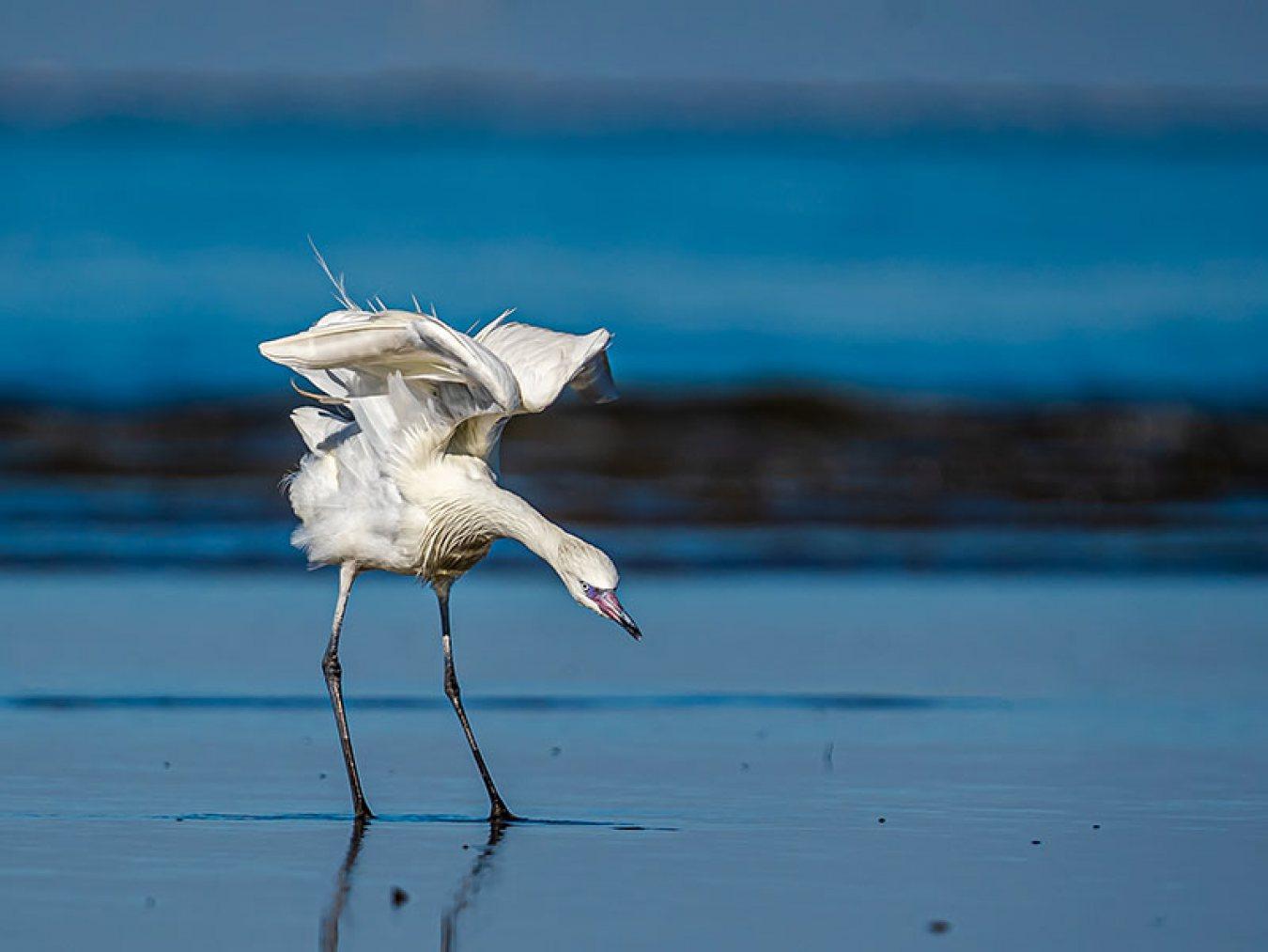 Reddish Egret by Carlos Guzman