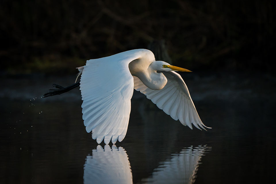 Great Egret by Gary Seloff