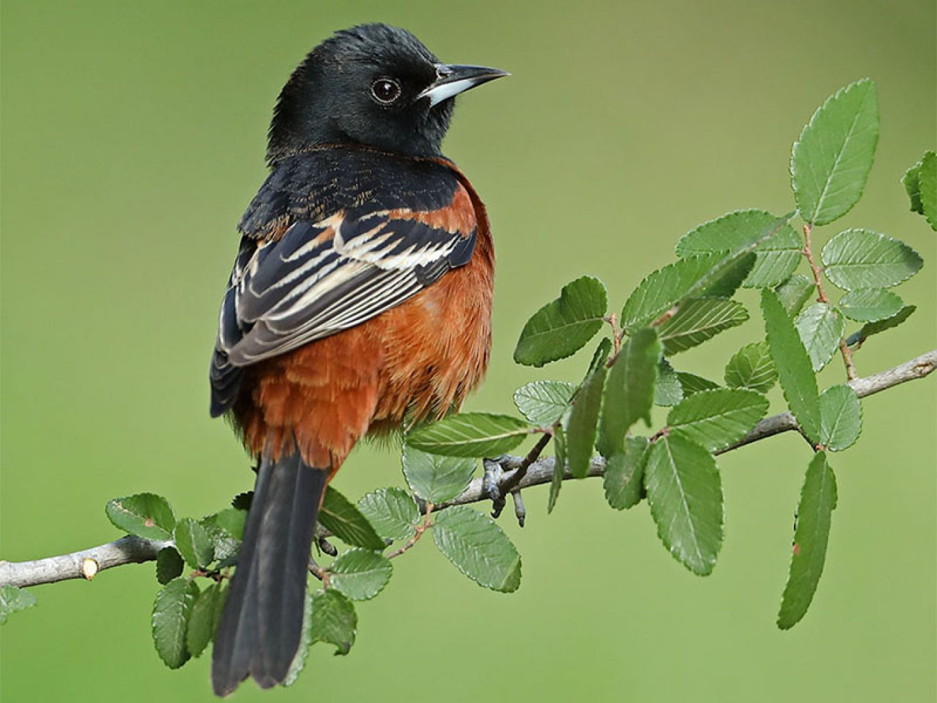 Orchard Oriole by Anthony Louviere