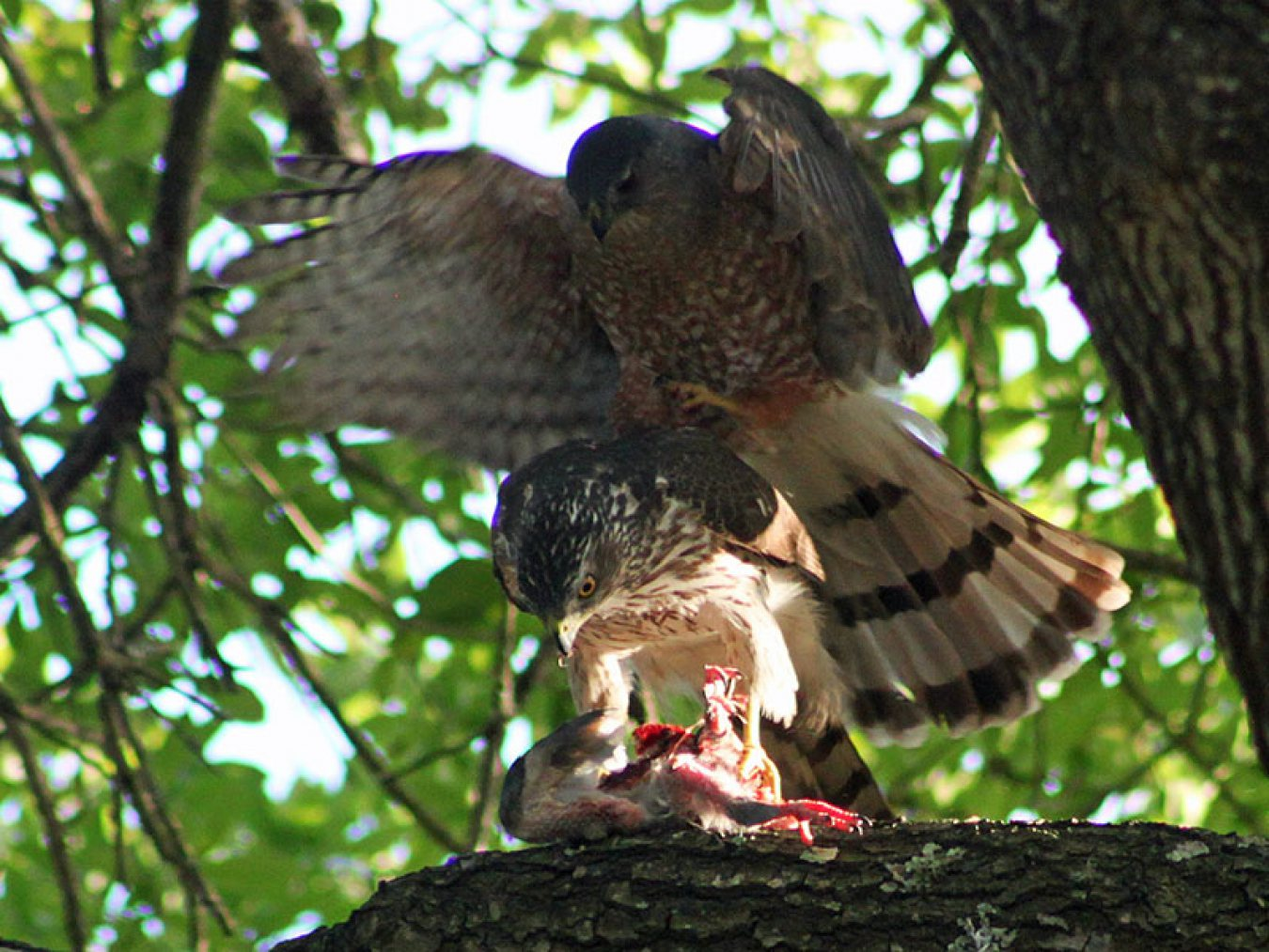 Pair of Cooper's Hawk