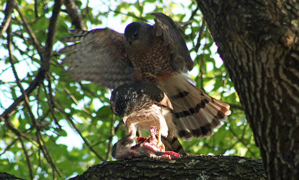 Pair of Cooper's Hawk