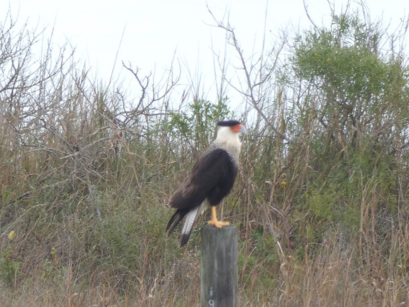 Crested Caracara on Post