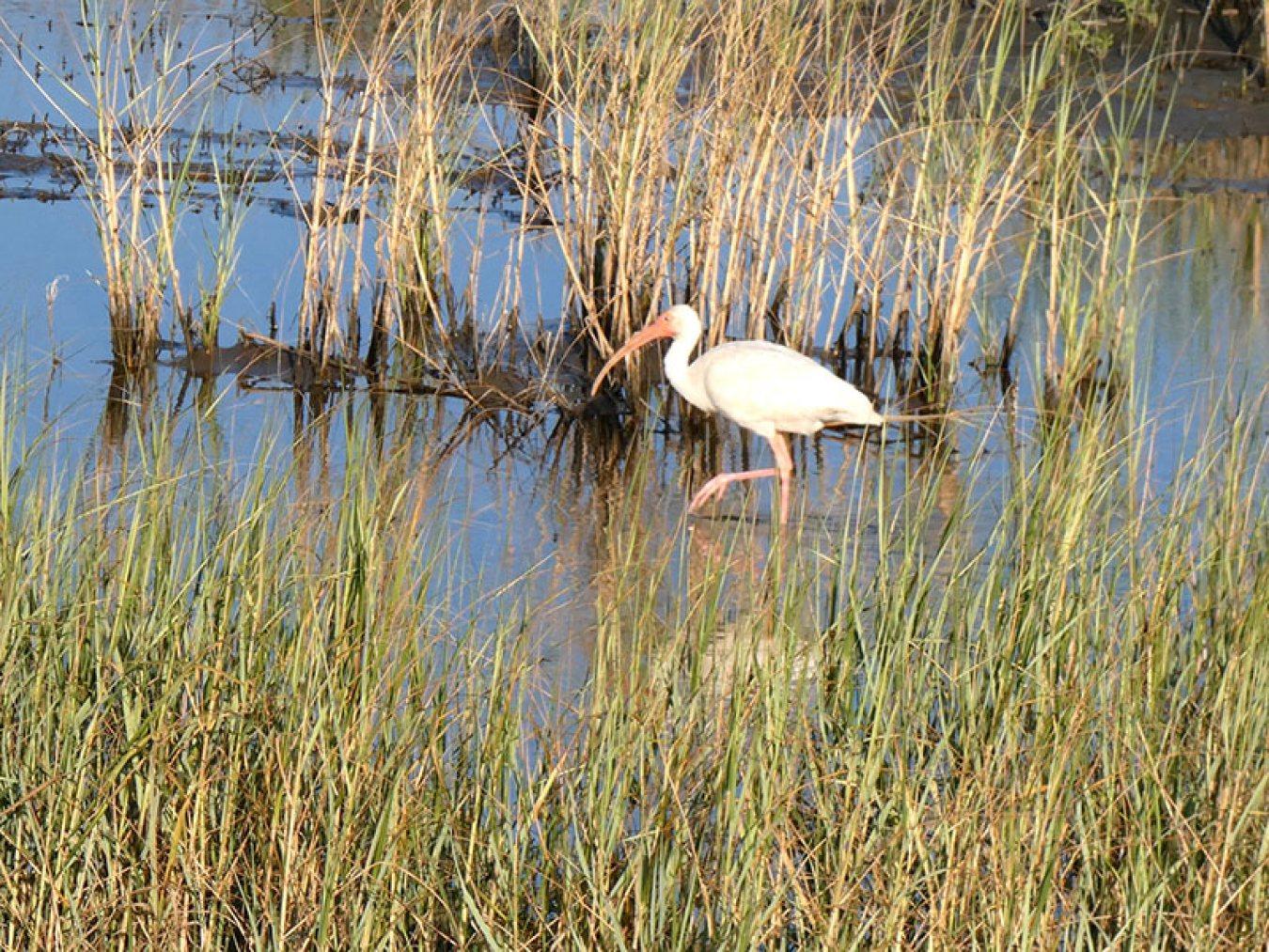 White Ibis at East End Lagoon