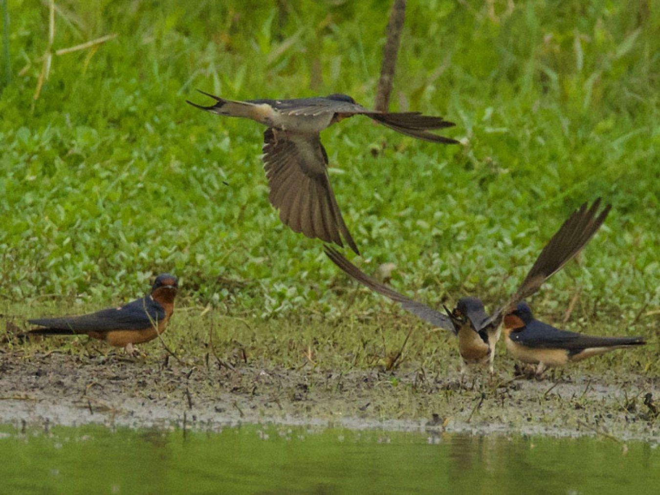 Barn Swallow at CHP by Robert Kirschner