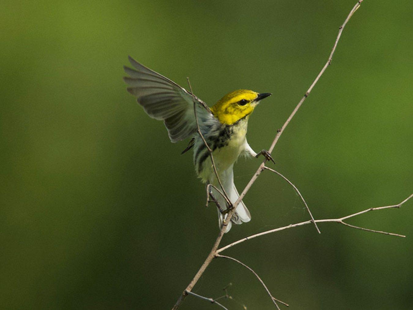 Black-throated Green Warbler at CHP by Robert Kirshner