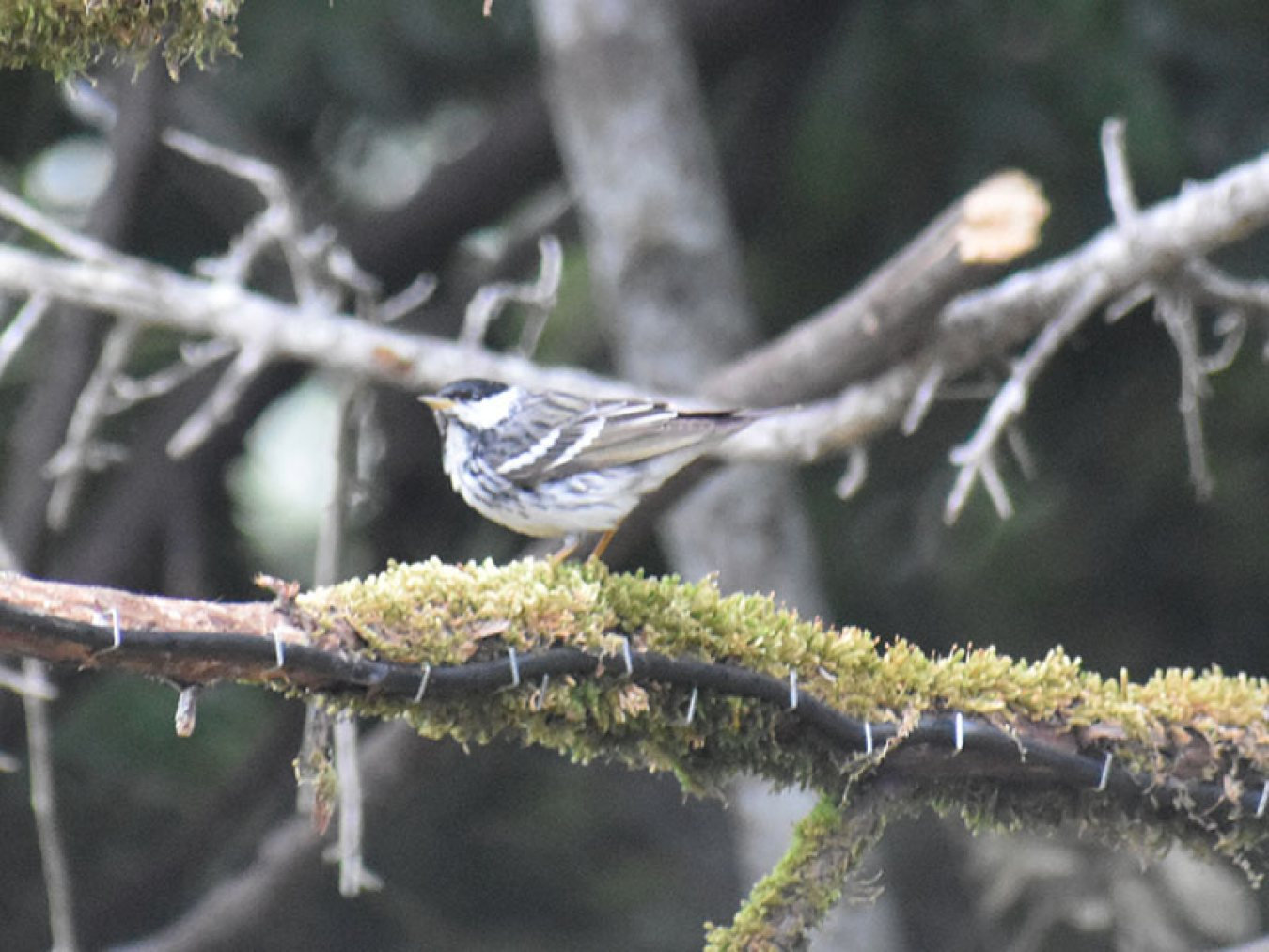Blackpoll Warbler at Stevenson Ranch by Mary Halligan
