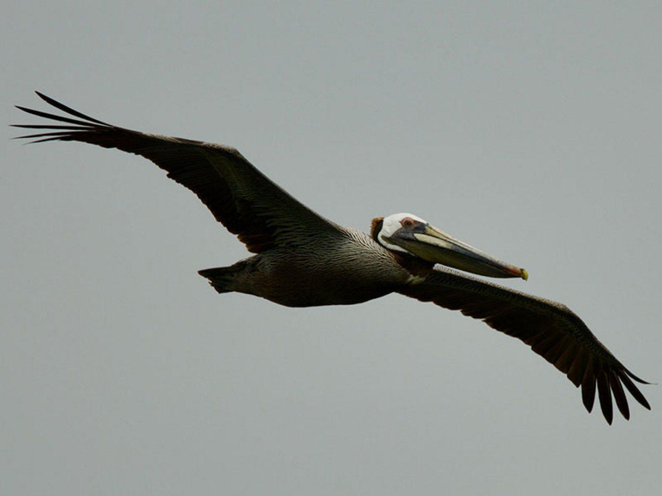 Brown Pelican at CHP by Robert Kirschner