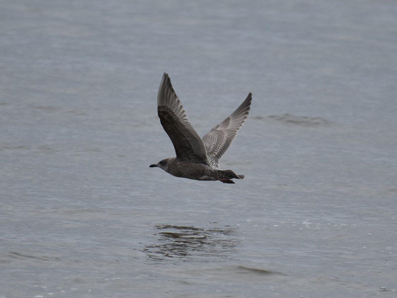Herring Gull by Mary Halligan