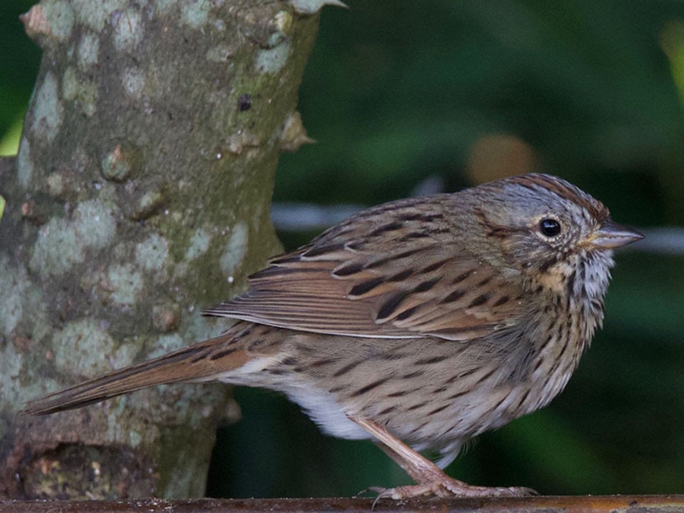 Lincoln's Sparrow at CHP by Robert Kirschner