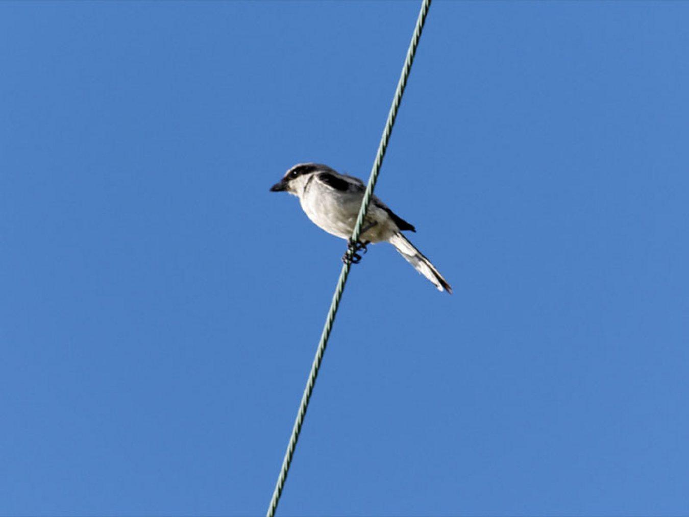 Loggerhead Shrike by Mary Halligan