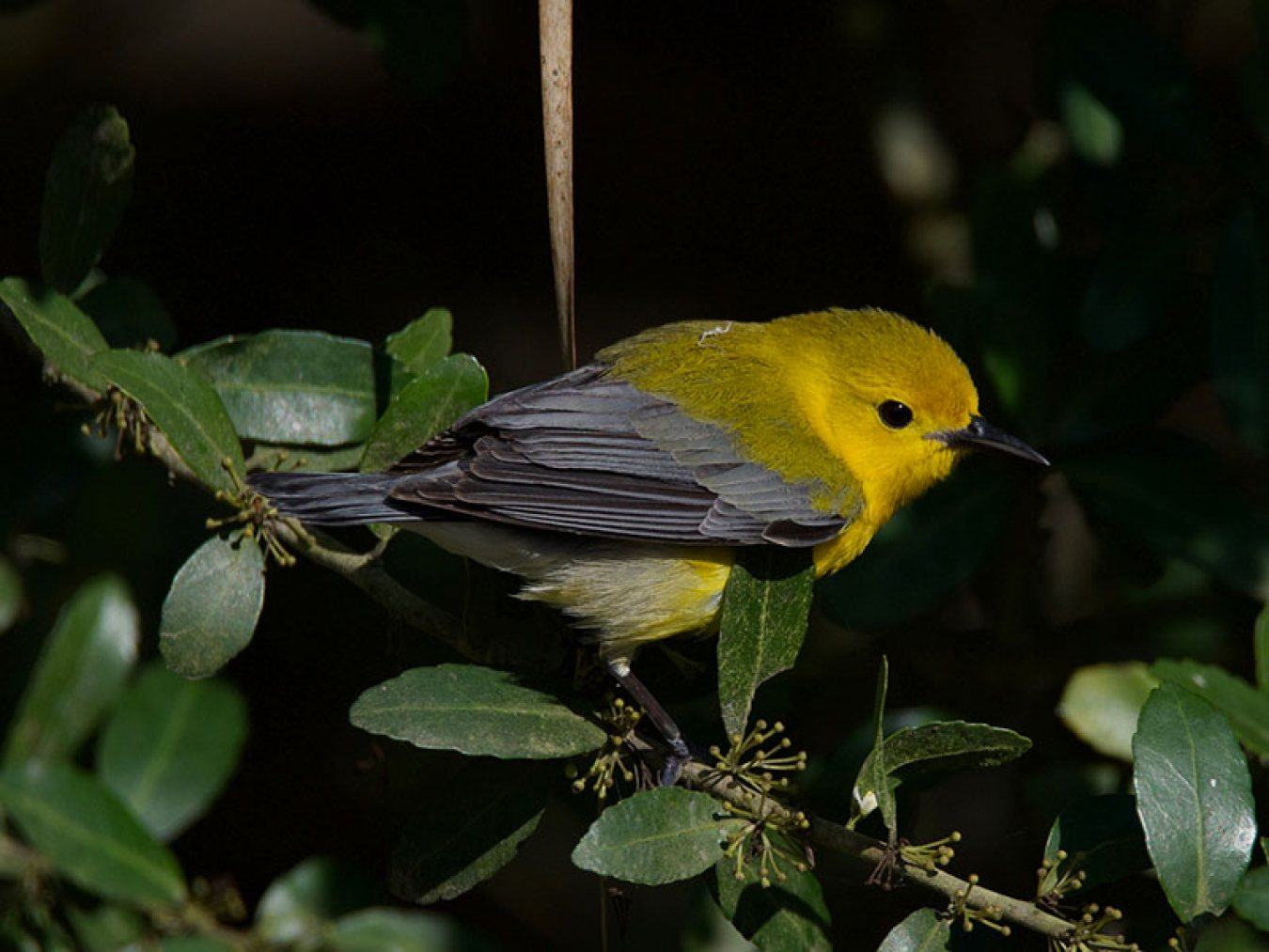 Prothonotary Warbler at CHP by Robert Kirschner