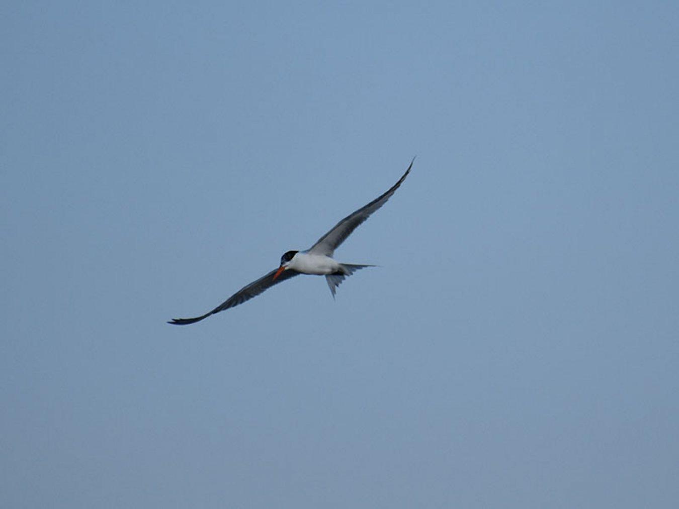 Royal Tern by Mary Halligan