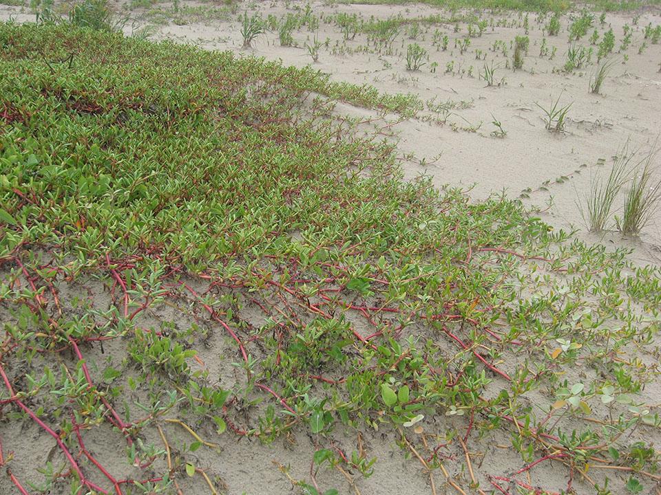 Sea Purslane Growing on Dunes