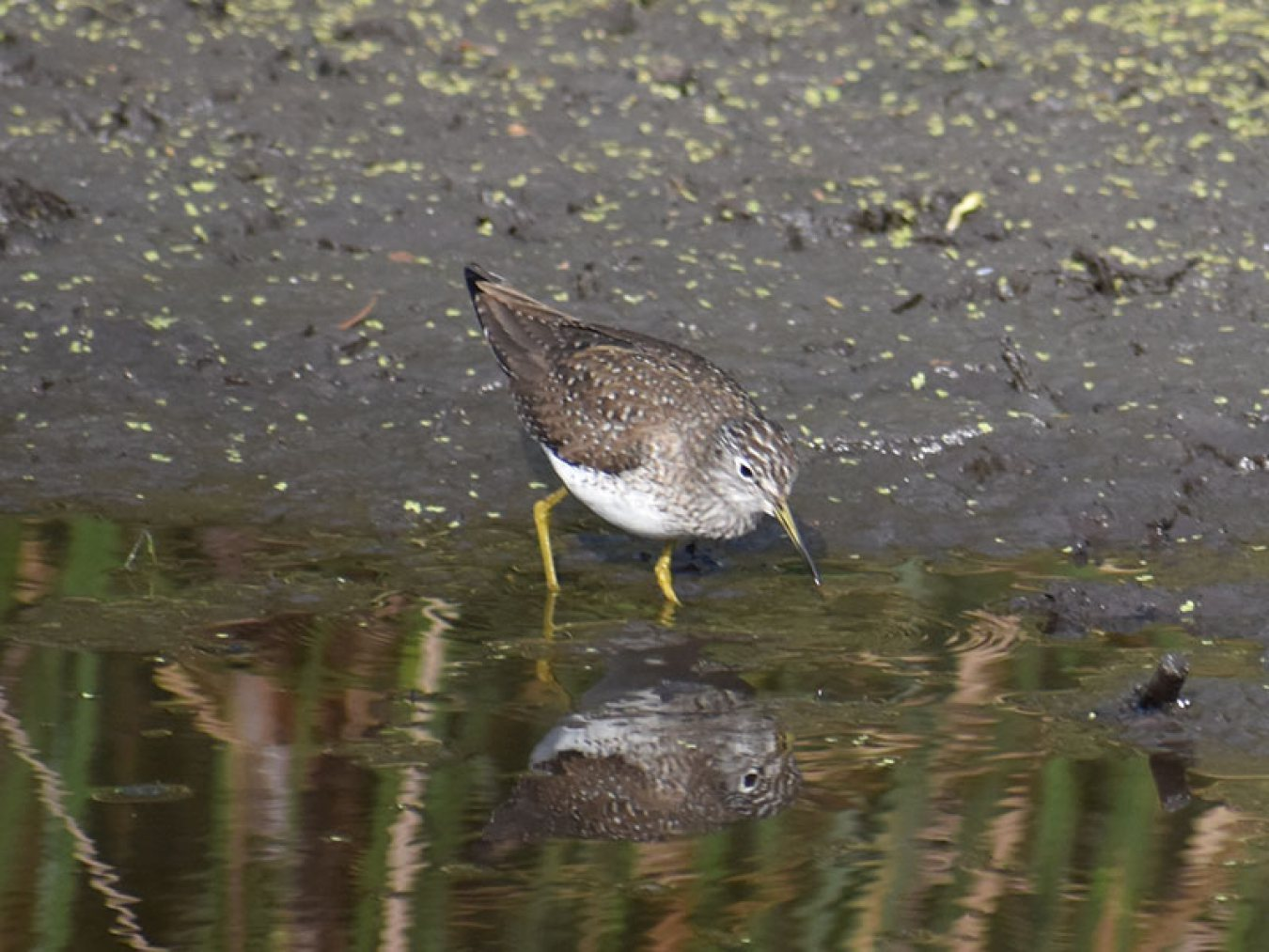 Spotted Sandpiper by Mary Halligan