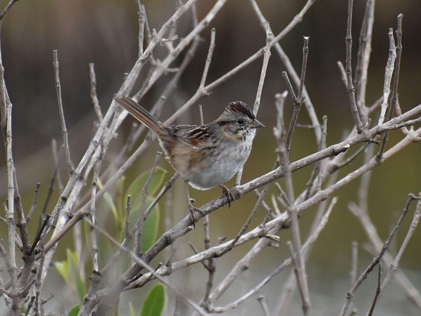 Swamp Sparrow by Mary Halligan