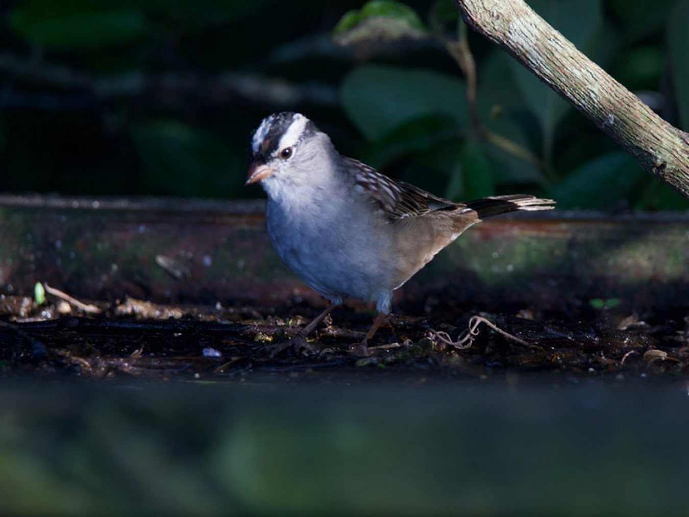 White-crowned Sparrow at CHP by Robert Kirschner