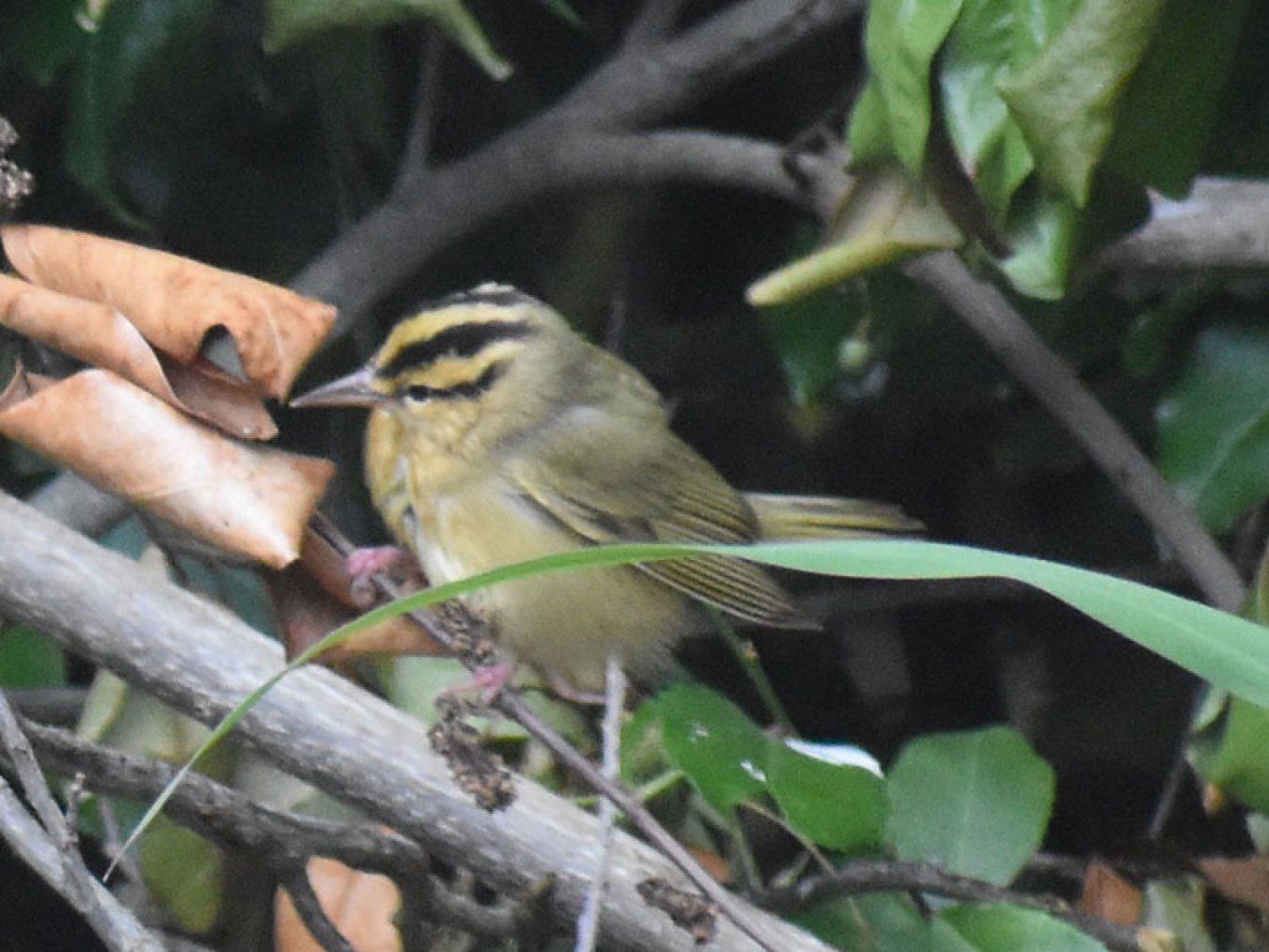 Worm-eating Warbler by Mary Halligan