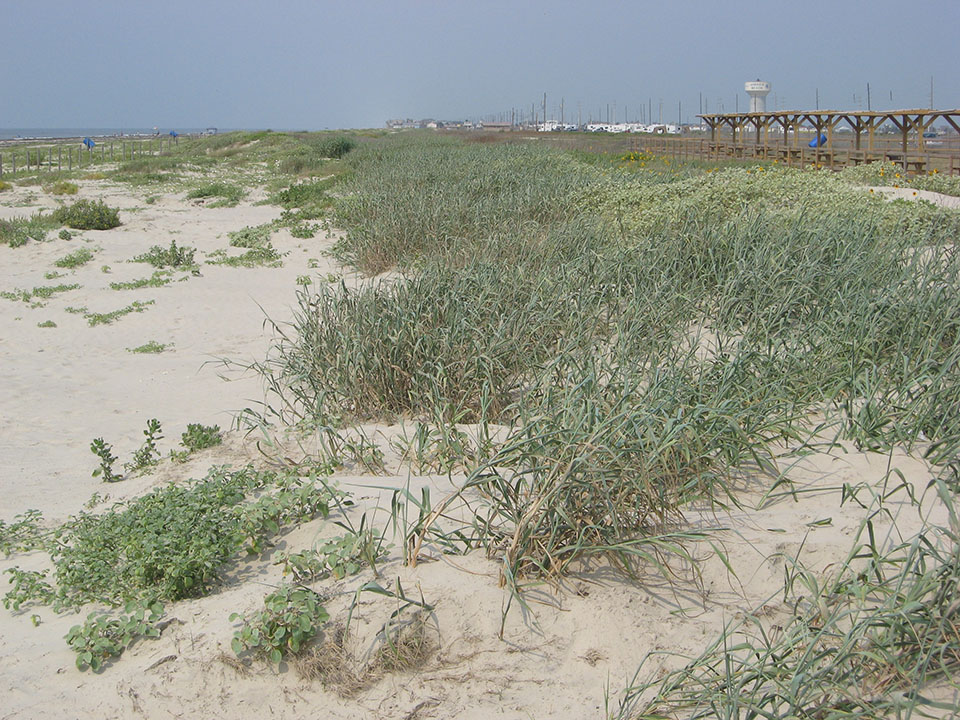 Dunes at Galveston Island State Park, two years post-restoration