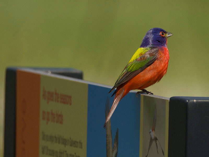 Painted Bunting at CHP by Robert Kirschner