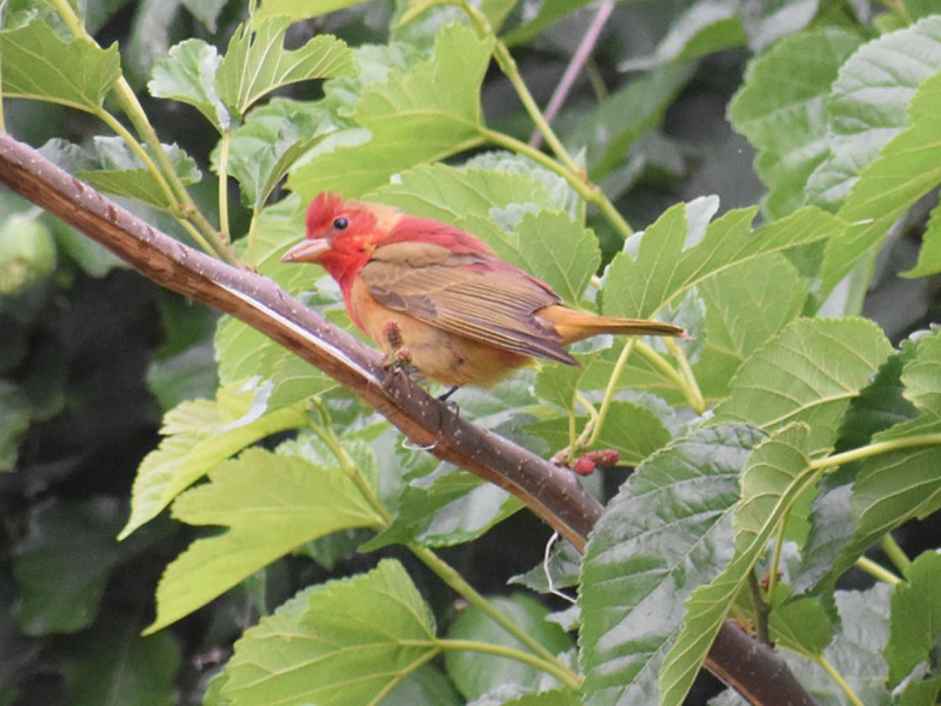 Summer Tanager by Mary Halligan