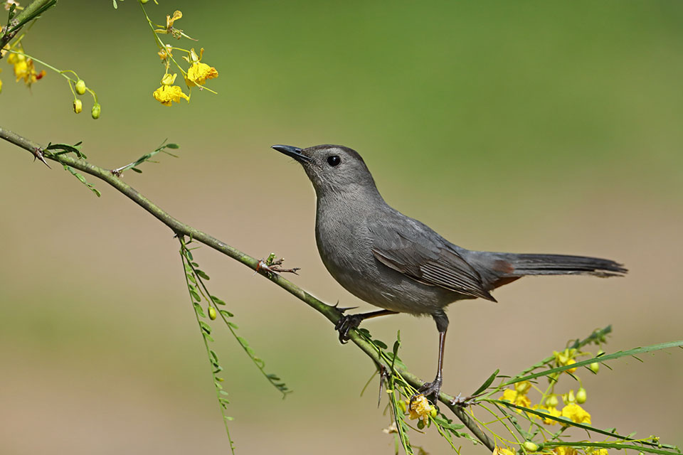 Catbird in Retama by Anthony Louviere