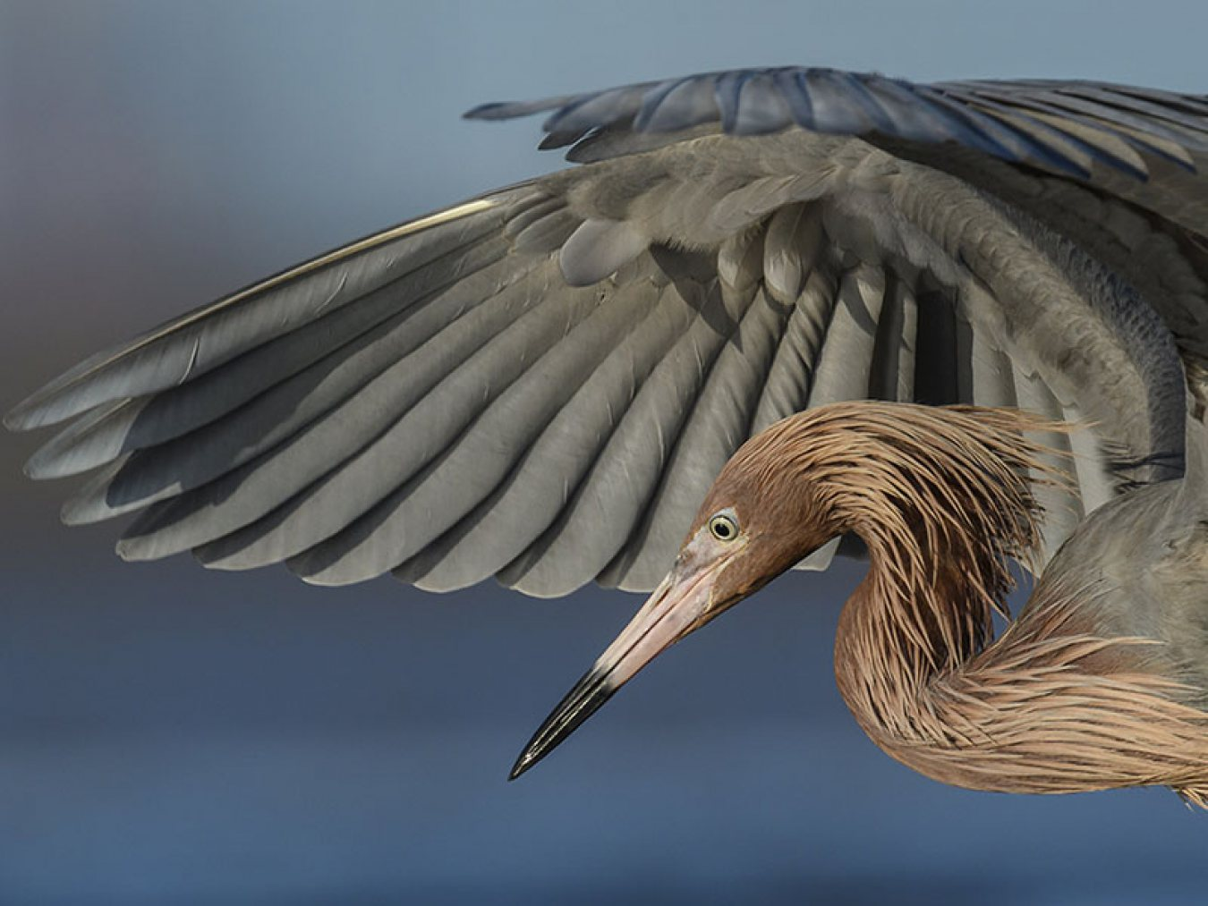 Reddish Egret Fishing by Stan Bravenec