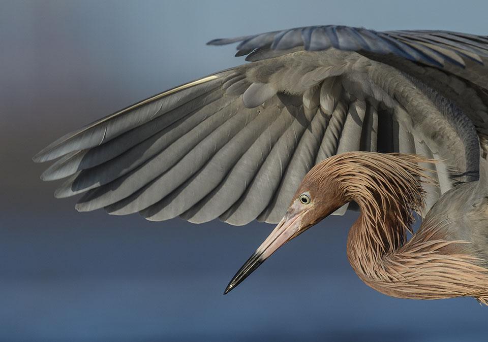 Reddish Egret Fishing by Stan Bravenec