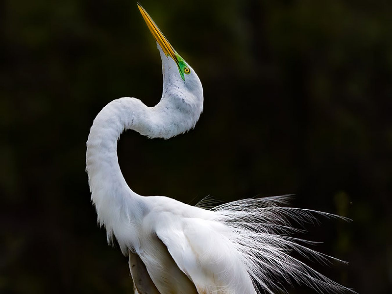 Great Egret by Mark Doing