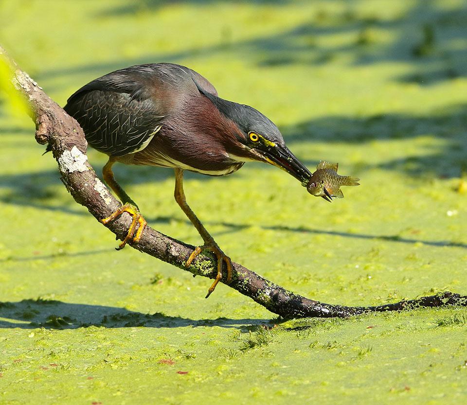 Green Heron by Dan Lotan
