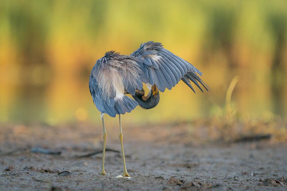 Tricolored Heron by Gary Seloff