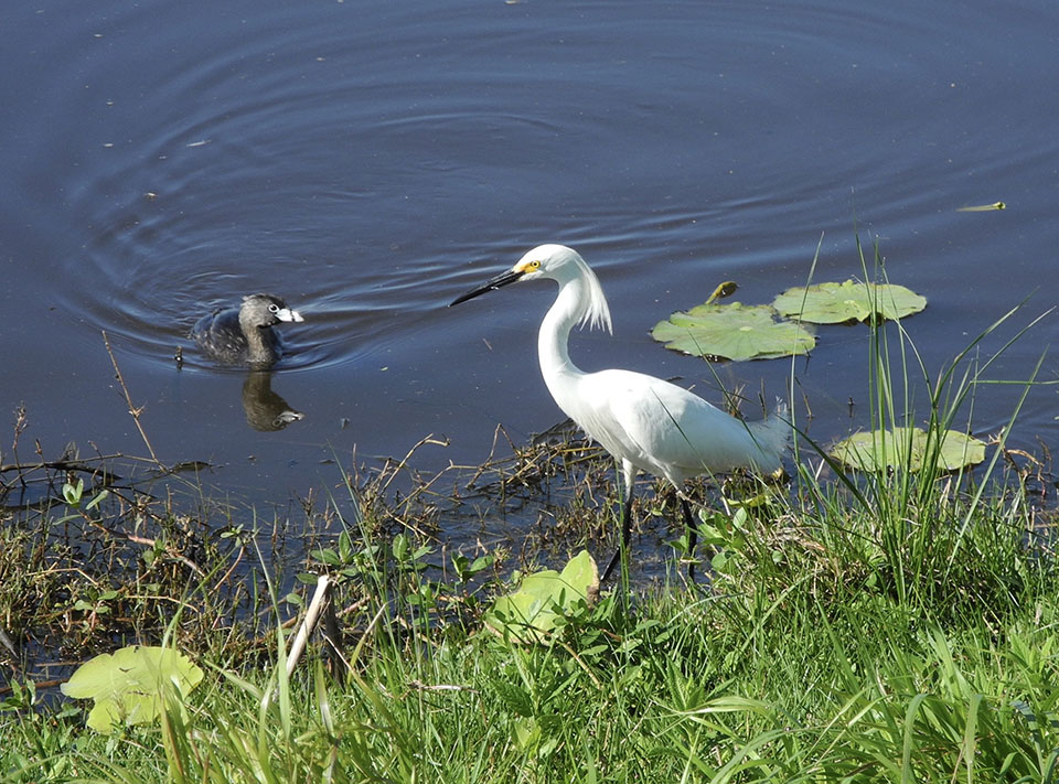 Snowy Egret and Pied-Billed Grebe