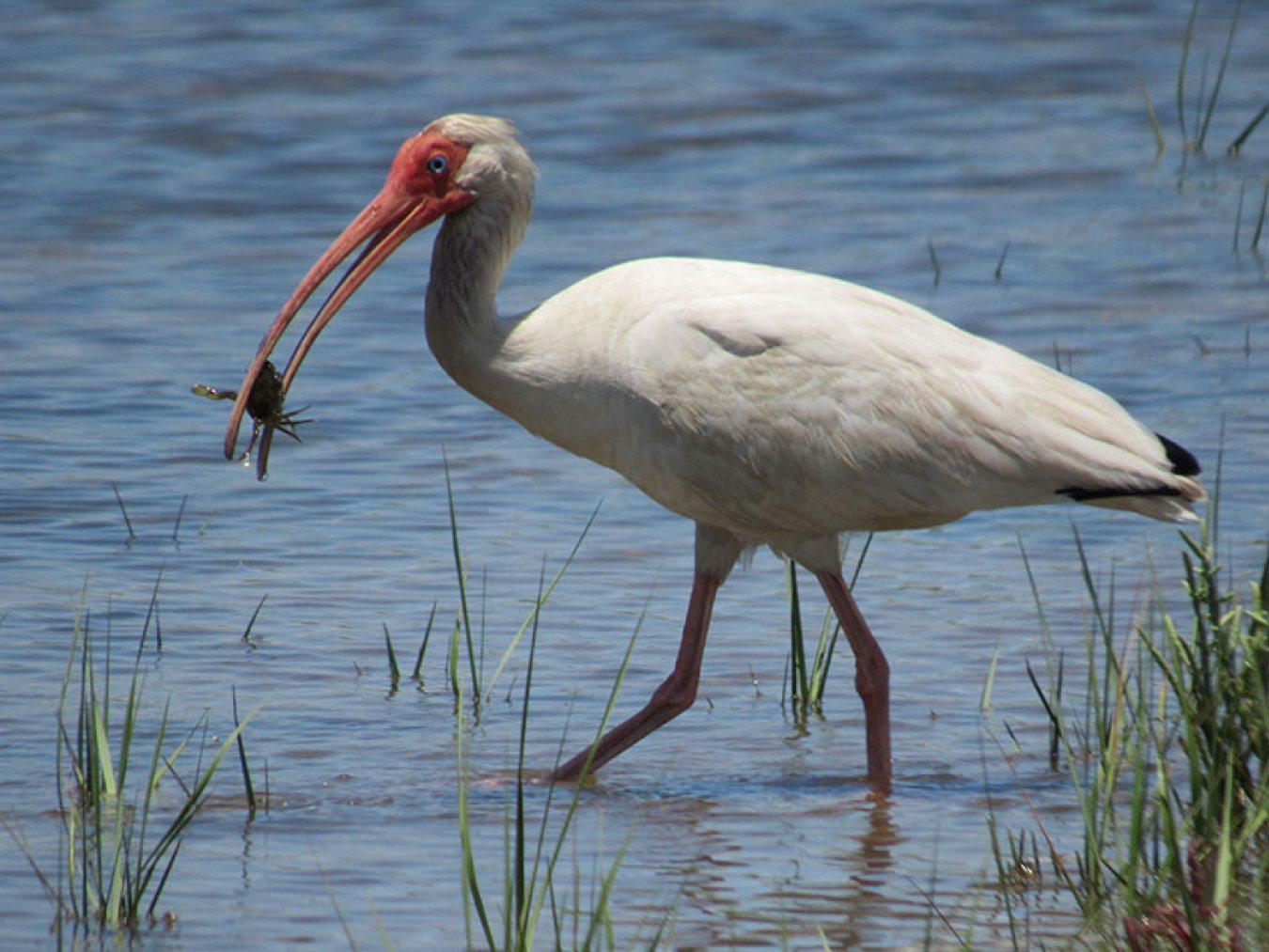 White Ibis by Steve Alexander 800