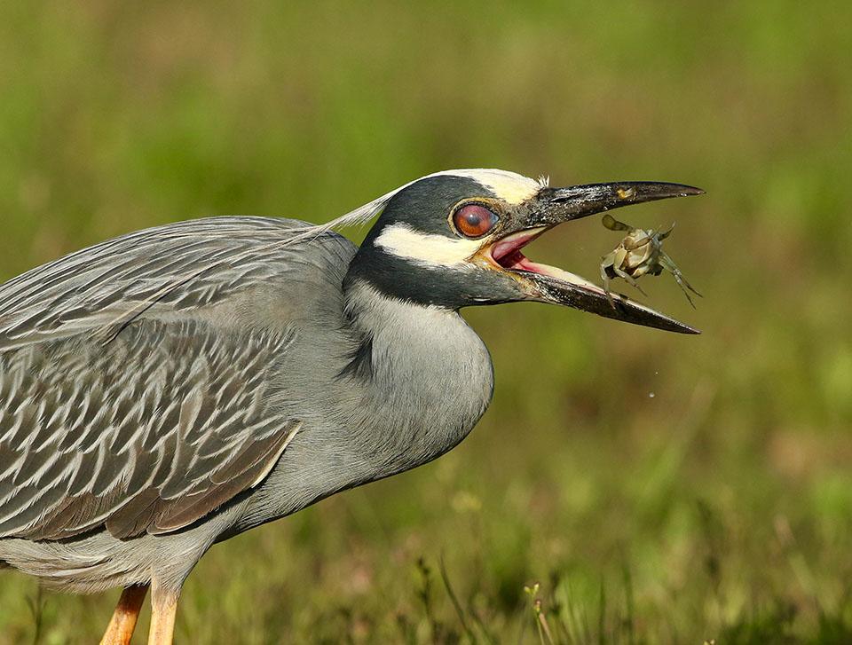Yellow-crowned Night-Heron by Dan Lotan