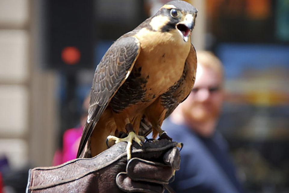 A Falcon on Perch